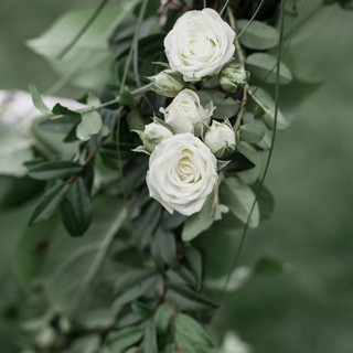 white roses outdoors