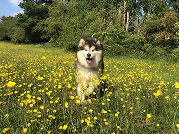 Miska inn field with buttercups.jpg