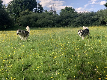 2 dogs running in field with buttercups.jpg