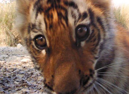 How to Fight a Tiger in Nepal