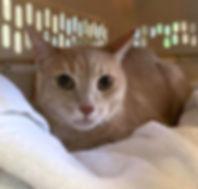 Light orange tabby cat Clover