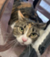 Torbie cat Daphne