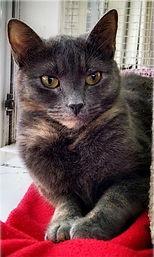 Pastel Tortie cat Laura