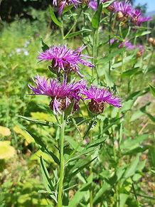 Meadow Knapweed 2.jpg
