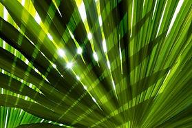 palm leaf .jpg
