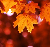 maple_tree_l3.jpg