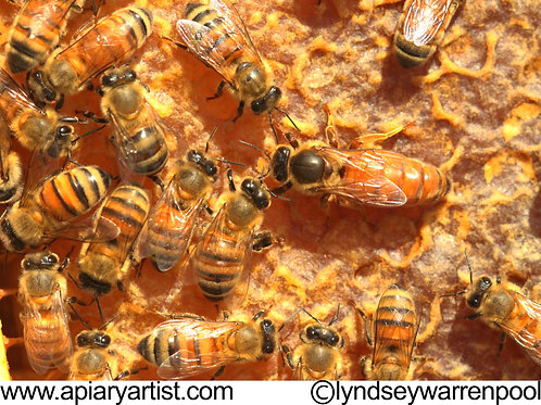 Honey Bees In Hive Stock Photo