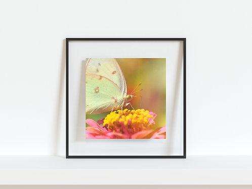 "Pieridae Butterfly 5""x5"" Mini Print"