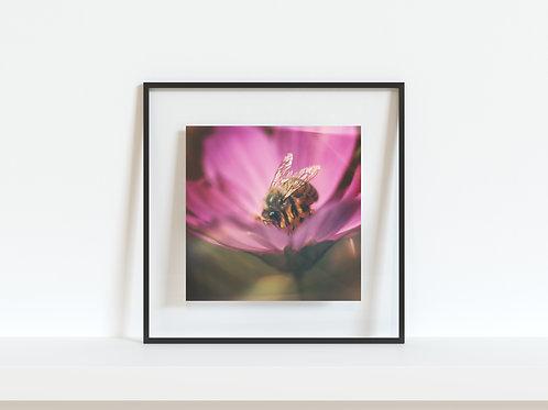 """Honeybee On Cosmos 5""""x5"""" mini print"""