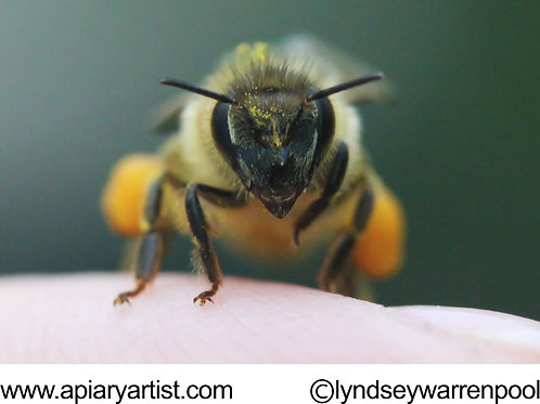 Honey Bee Head Stock Photo