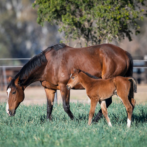 What considerations do you make when selecting a stallion mating?