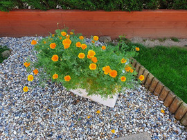 Jessicas Californian Poppies.jpg