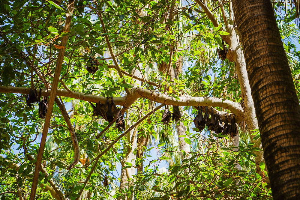 Mataranka Hot Springs bats