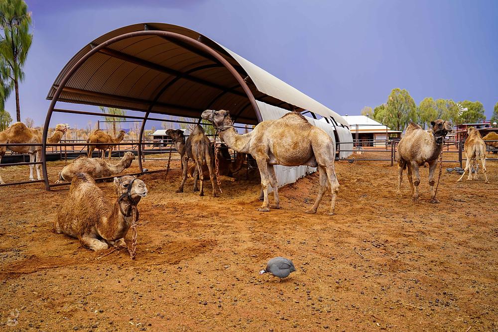 Visiting Uluru-Kata Tjuta National Park camels