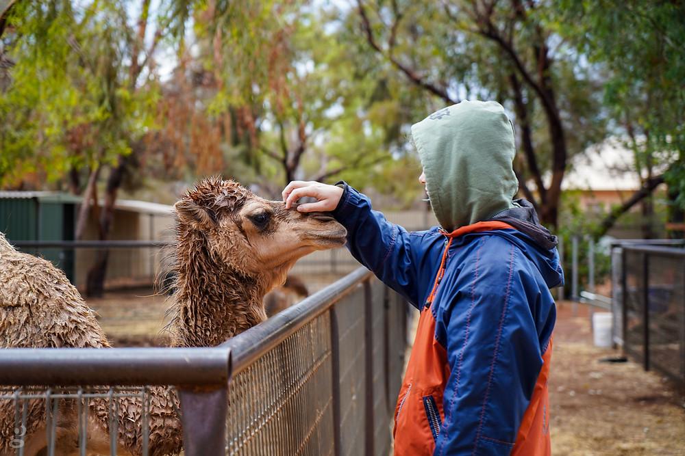 Visiting Uluru-Kata Tjuta National Park baby camel