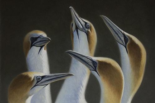 Australasian Gannets Card
