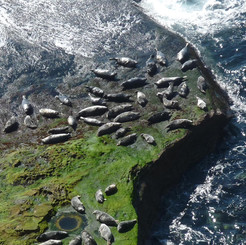Seals on Orkney