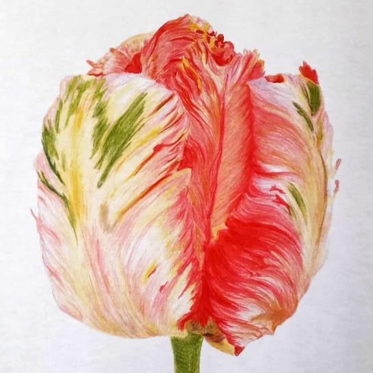 gezeichnete Tulpe Karin Vetter