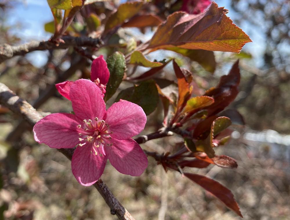 Bright pink crab apple blossom.