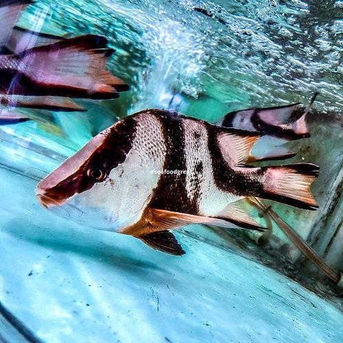 三刀魚 (10-12両)