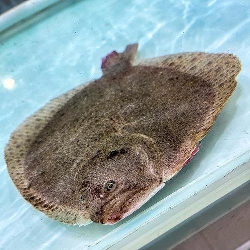 多寶魚 14両-1斤 (每條)