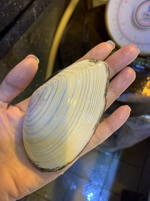 日本刀貝(隻)
