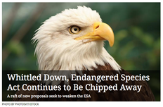Whittled Down, Endangered Species Act Continues to Be Chipped Away
