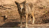 Will Red Wolves — Once Declared Extinct — Make a Comeback?