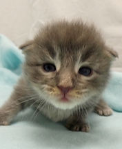 Chaton Maine coon Blue blotched tabby