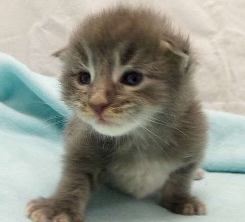 Maine coon kittens chatons