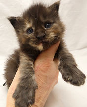 Femelle Maine coon chaton Black tortie