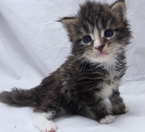 chatons maine coon cute mignons