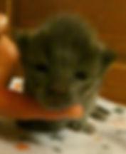 Chaton maine coon kitten chat cat XXL Paris Val-d'Oise Cergy Ile-de-France France Belgique Suisse Monaco Luxembourg 95 78 77 75 60 92 91 93 94 27 28 60 achat recherche disponible