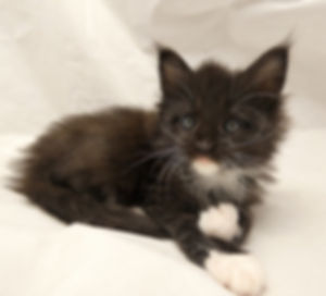 Maine coon kitten chaton bicolore balck and white noir robe chic