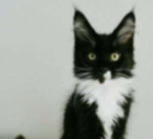 Maine Coon Balck and white