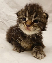 Femelle Maine coon Brown blotched tabby