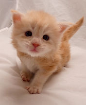 maine coon kitten france