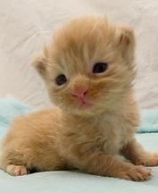 chaton maine coon à vendre