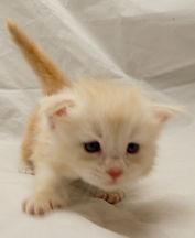Maine coon kitten uk england scotland ireland eire wales cymru
