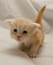 Maine coon dordogne kitten