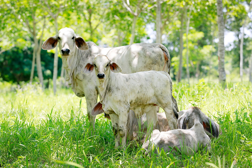 Canva - Brahman Cattle Raised in convers