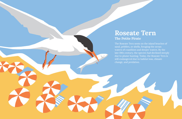 Roseate Tern-01.jpg