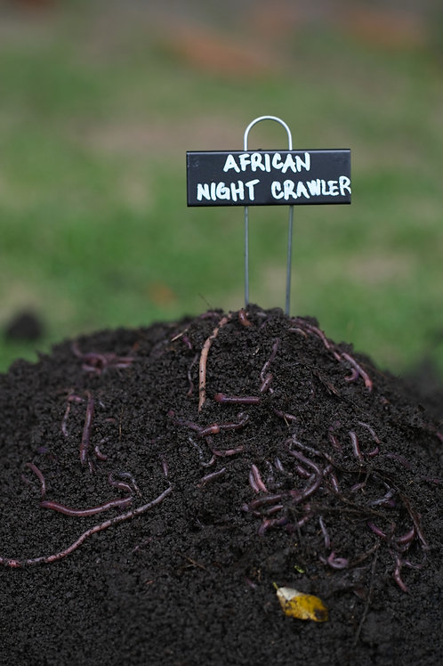 African Night Crawler