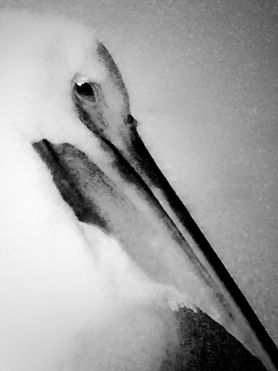 The Great White Pelican.jpg