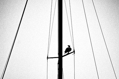 Osprey On Sail