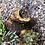 Thumbnail: Large Joshua Tree Log with Live Succulents