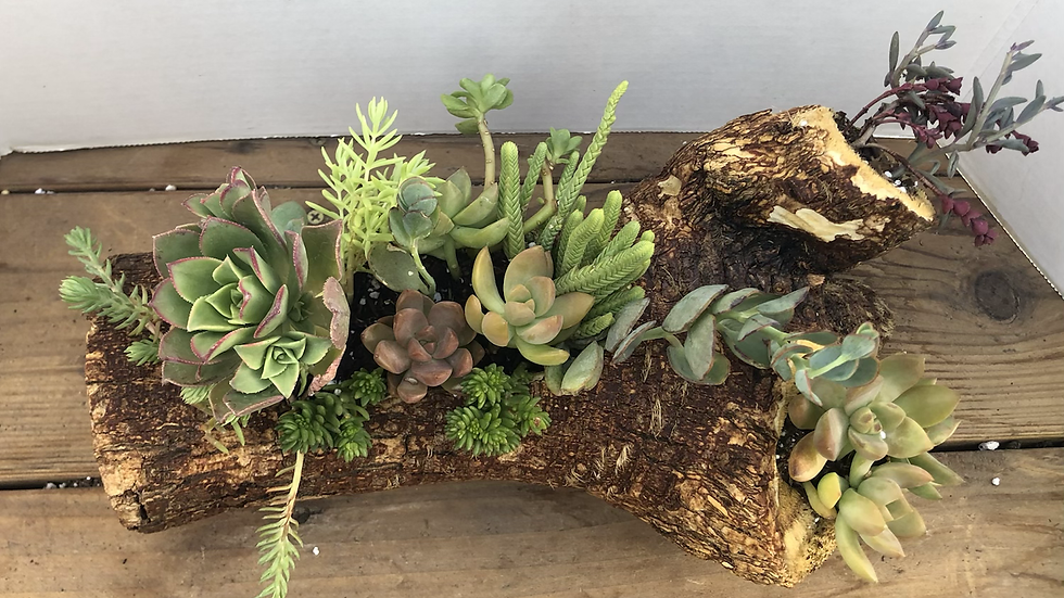 Large Joshua Tree Log with Live Succulents