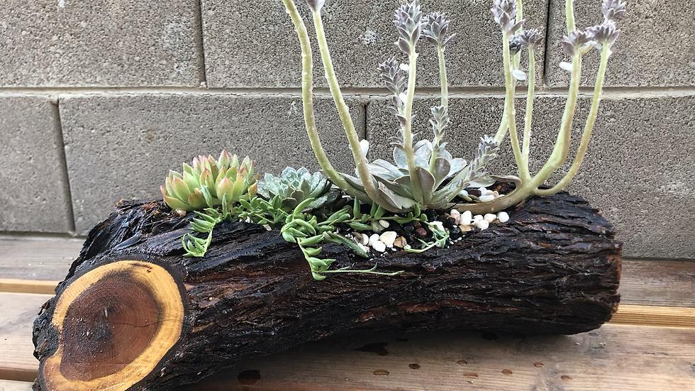 Medium Mesquite log with live succulents