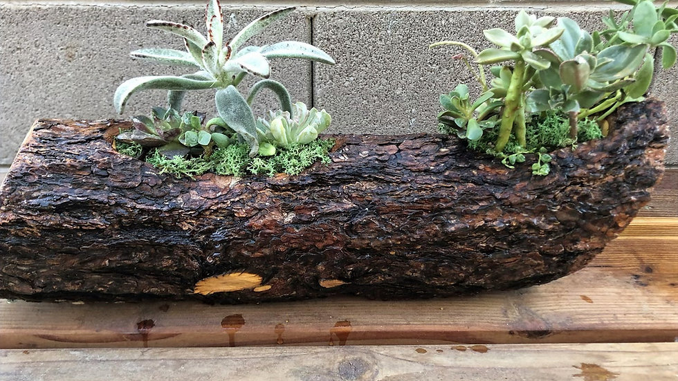 Large Pine Log with Succuletns