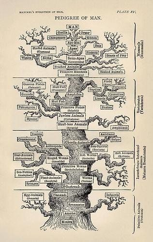 Tree_of_life_by_Haeckel.jpg